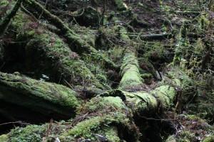 苔むした倒木たち