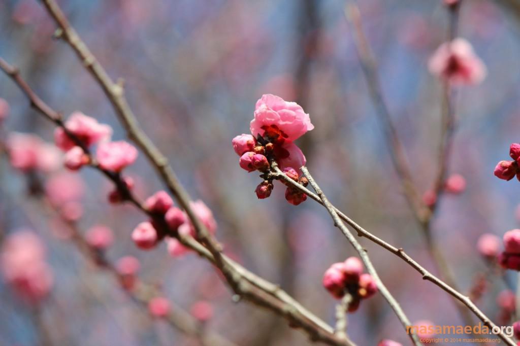 梅とともに春がやってきます