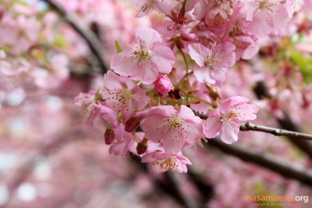 色鮮やかな河津桜