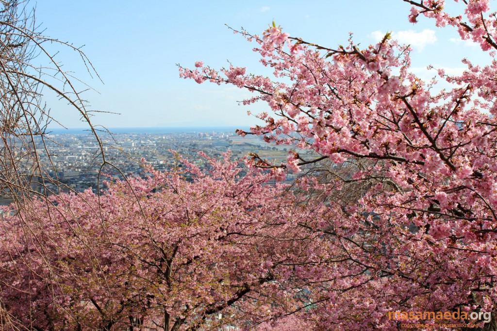 街並みと河津桜