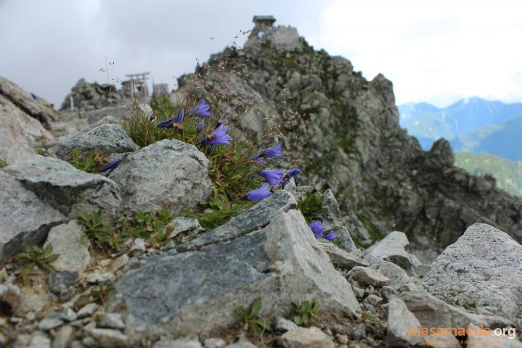 頂上に咲くイワギキョウ