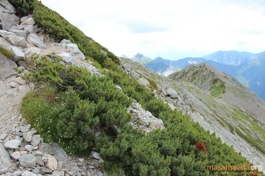 実は日本独特の高山帯の風景であるハイマツ帯
