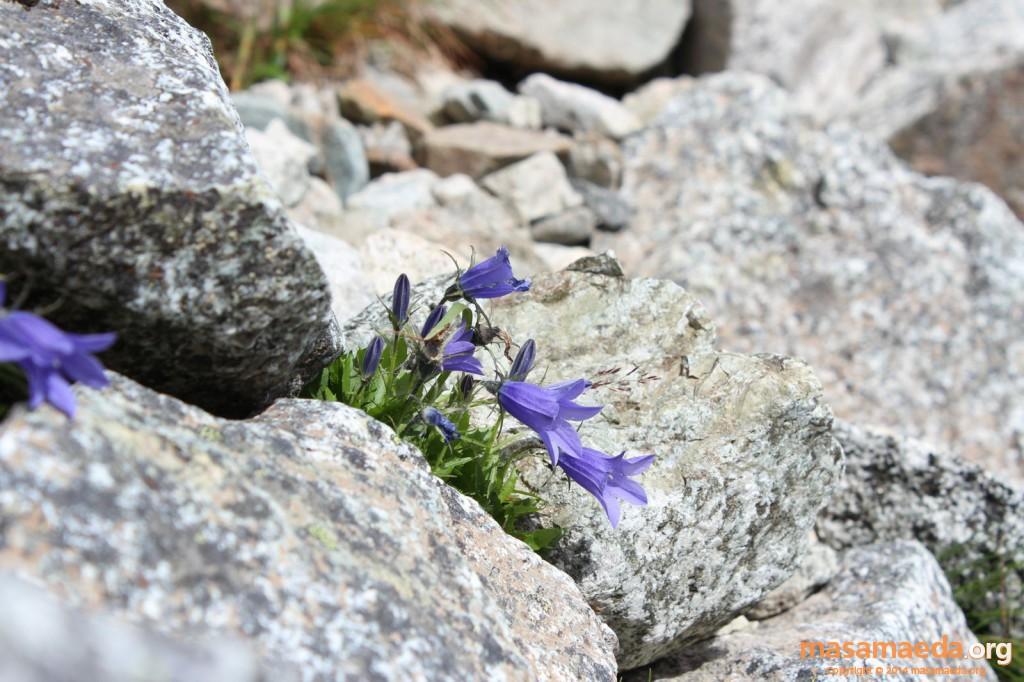 岩場に咲くイワギキョウ