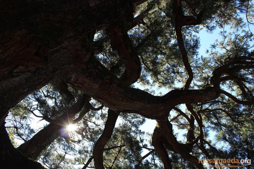 筑波山の名木、紫峰の杉